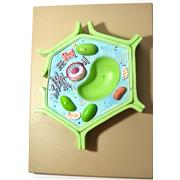 Image of Plant Cell Model