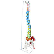 Color-Coded Flexible Spinal Column Model