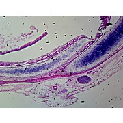 Prepared Microscope Slide,Hyaline Cartilage Mammal Condrocytes